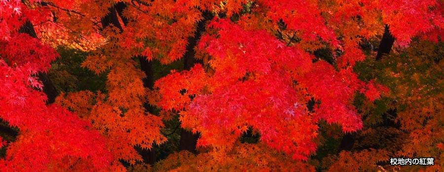 秋に見せる、鮮烈な赤。