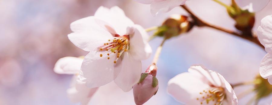 前庭の桜。
